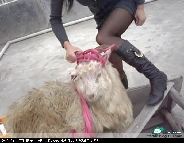 女屠夫宰猪_女屠夫杀猪过程,女屠夫杀猪,女屠夫杀猪宰羊视频,农村女屠夫