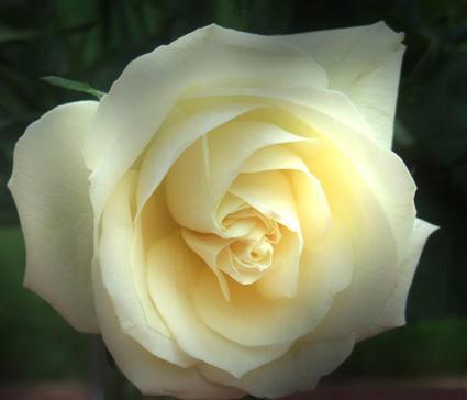 春天的第一朵玫瑰